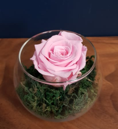 sweet baby pink preserved rose (last one to five years)