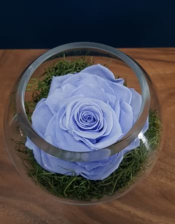 Chinerella Blue XL Preserved Rose